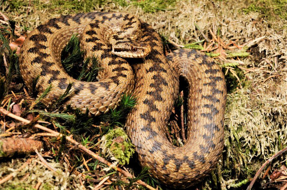 Укус змії: як правильно діяти та надати допомогу.
